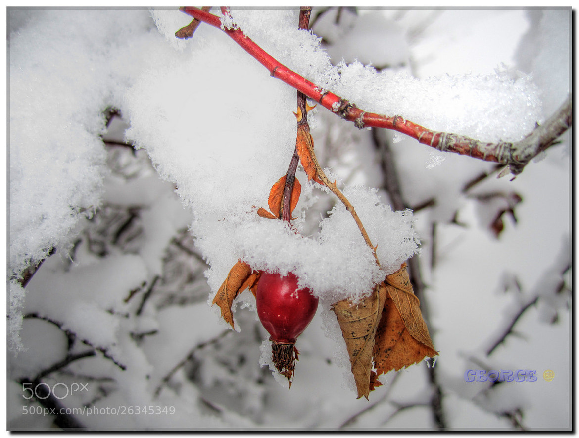 Photograph the snowy red passion... by George @ papaki on 500px