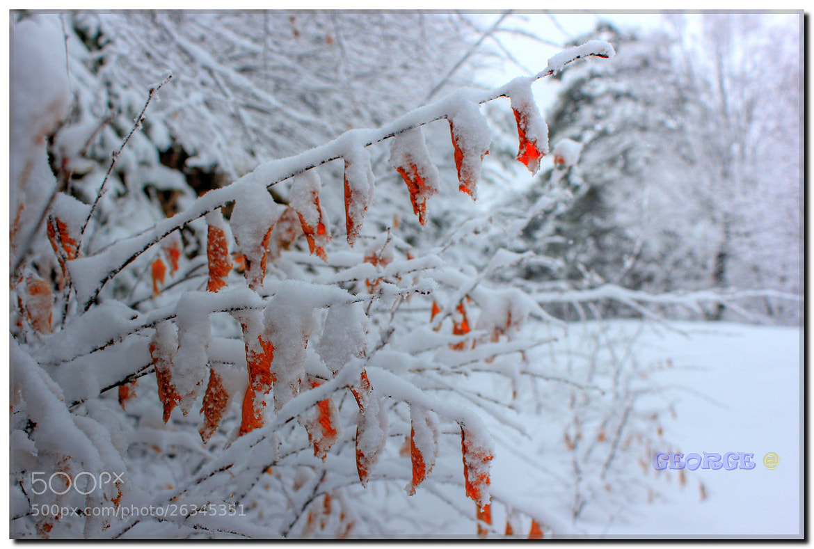 Photograph Warm leaves of passion in snow -  George @  by George @ papaki on 500px