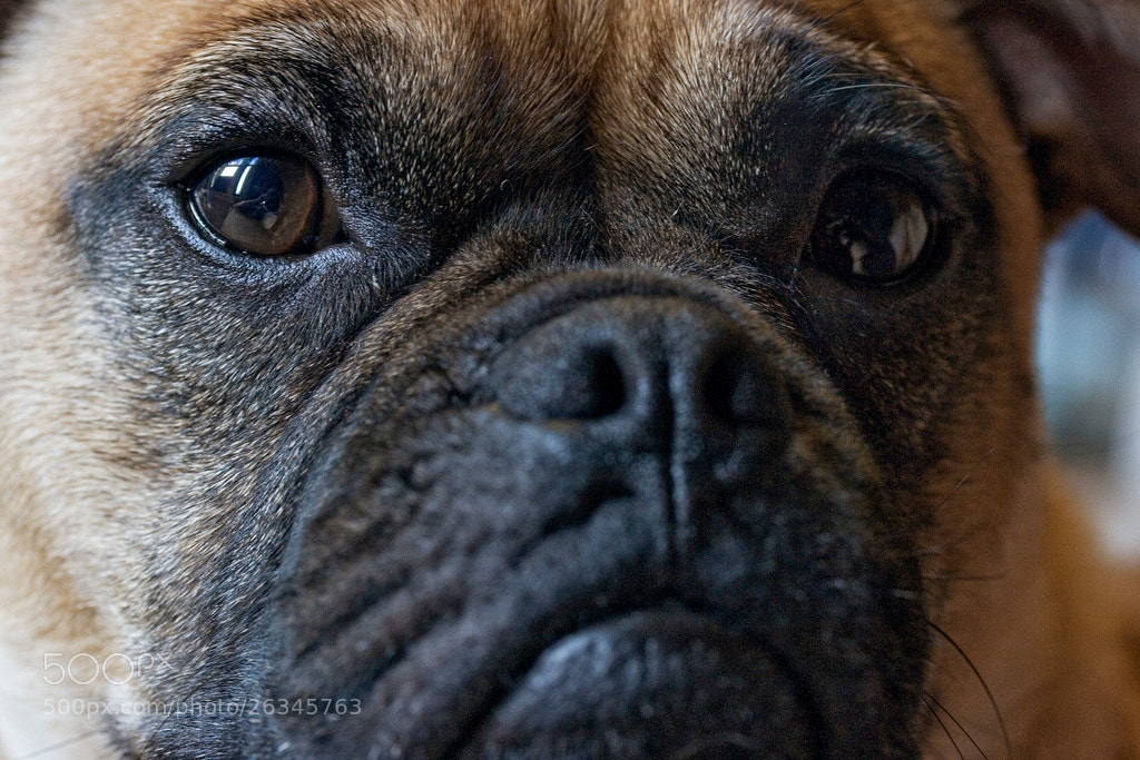 Photograph Old Head on a Young Puggle by Liam Moroney on 500px