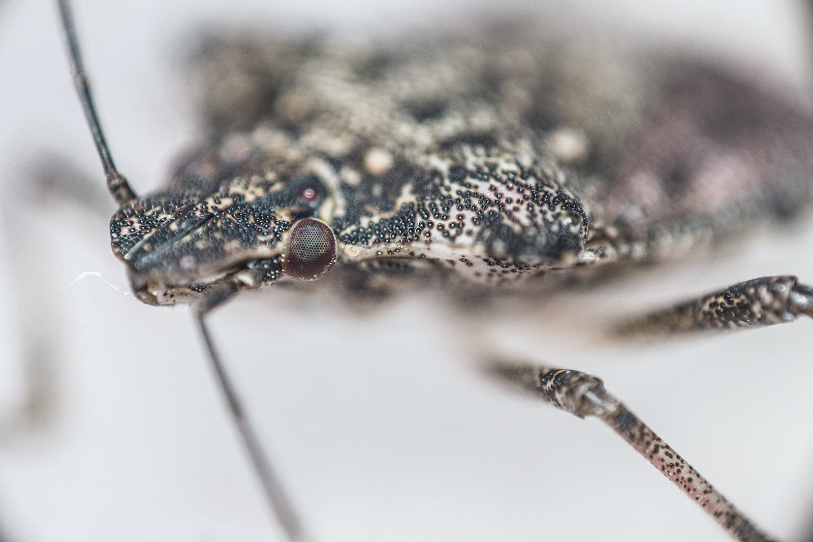 Photograph Brown marmorated stink bug by invertedlens on 500px