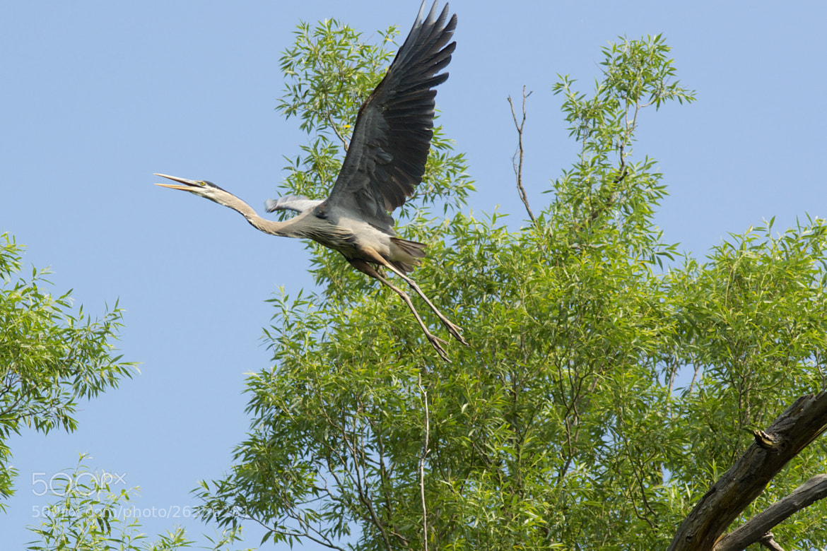 Photograph Great Blue Heron by Tony Mo on 500px