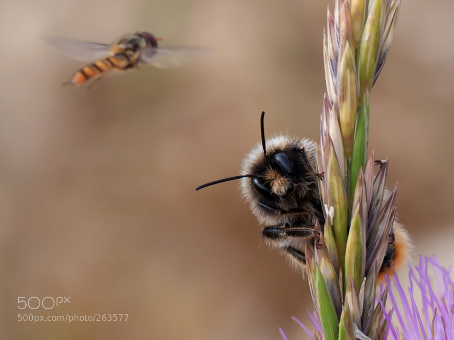 Photograph bumblebee by Marei ... on 500px