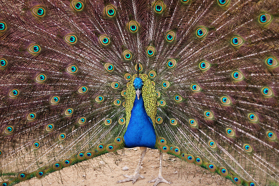 Photograph Peacock in its glory by Judith Aranda on 500px