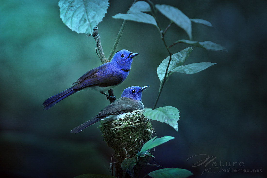 Photograph Black-naped monarch by Sasi - smit on 500px