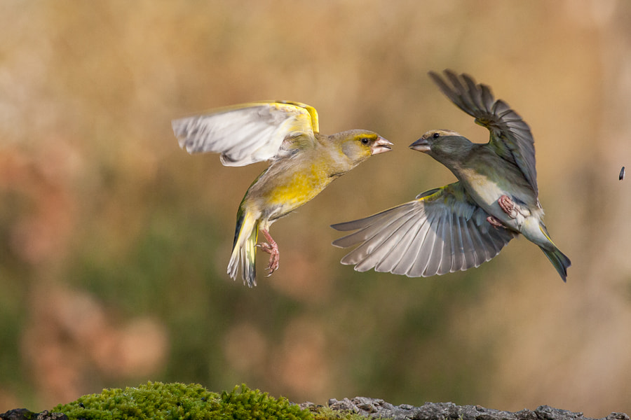 Photograph Fight ! by Marc Pihet on 500px