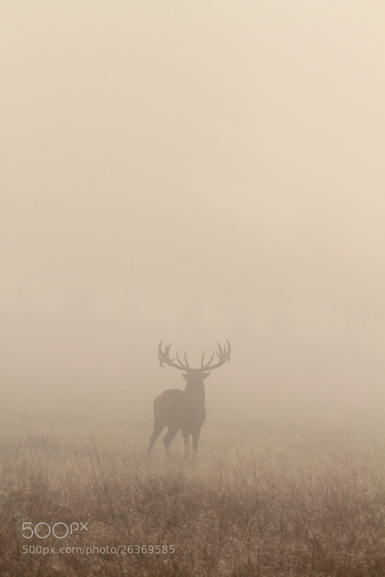 Photograph stag in the mist by Lee Crawley  on 500px