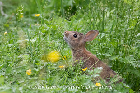Nibbling Baby Cottontail Rabbit