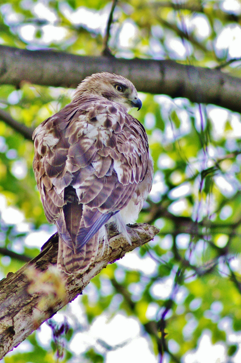 Photograph Hawk by Martine Gingerich on 500px