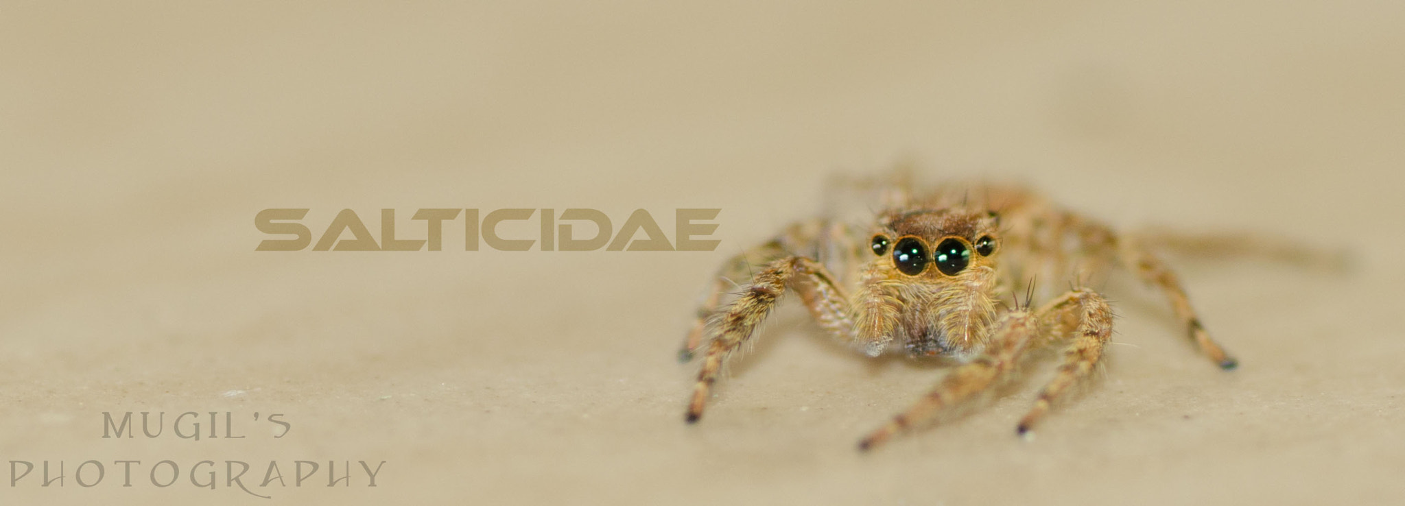 Photograph Salticidae by Mugil photography on 500px