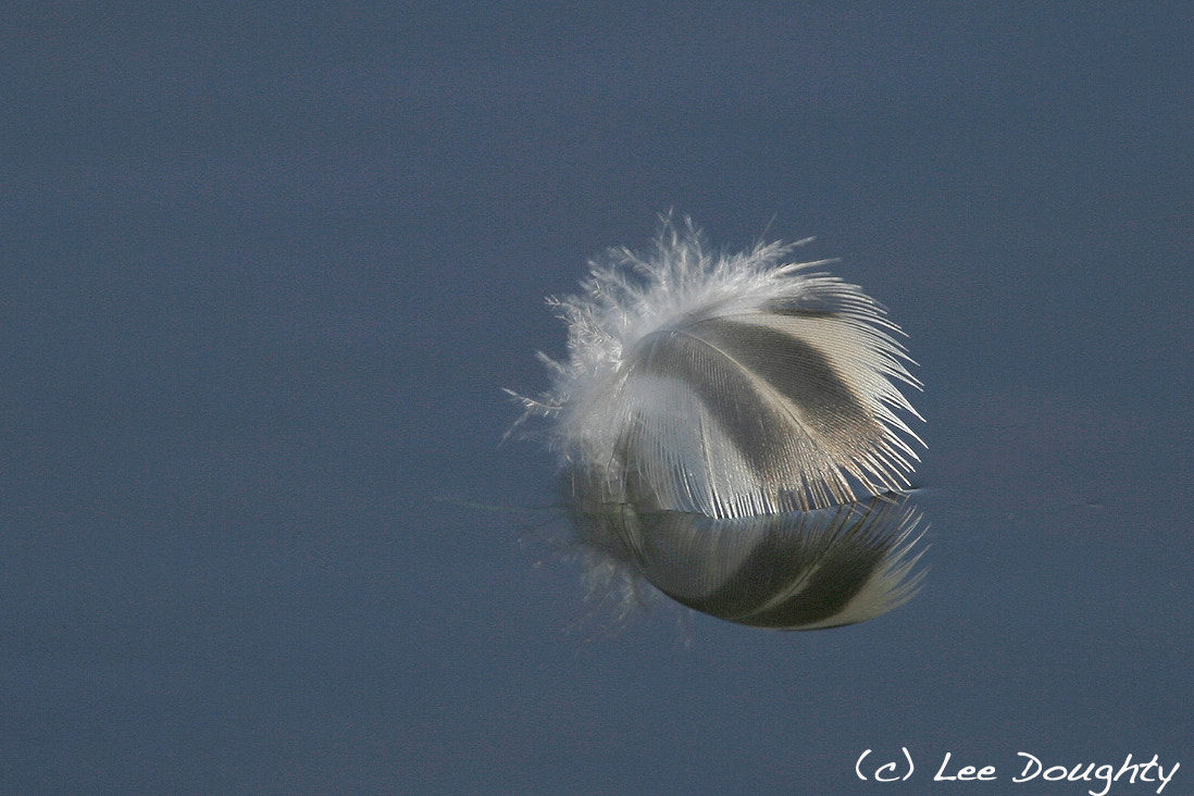 Photograph Feather by Lee Doughty on 500px