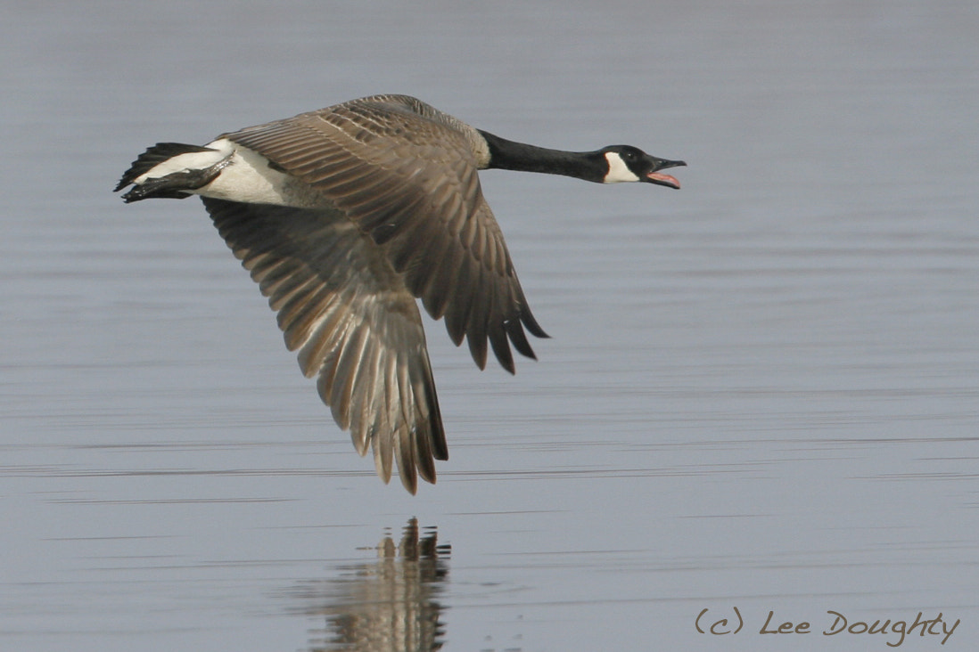 Photograph Canada Goose by Lee Doughty on 500px