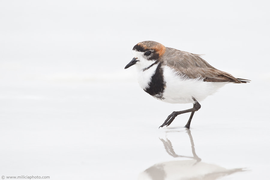 Photograph Two-banded Plover : Volunteer Point : Falkland Islands by Michael Milicia on 500px