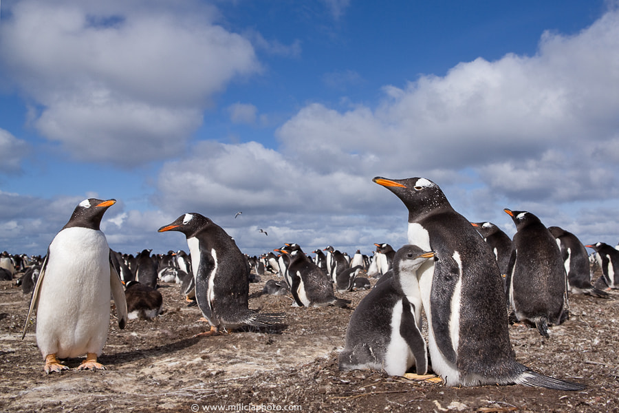 Photograph Gentoo Penguins : Sea Lion Island : Falkland Islands by Michael Milicia on 500px