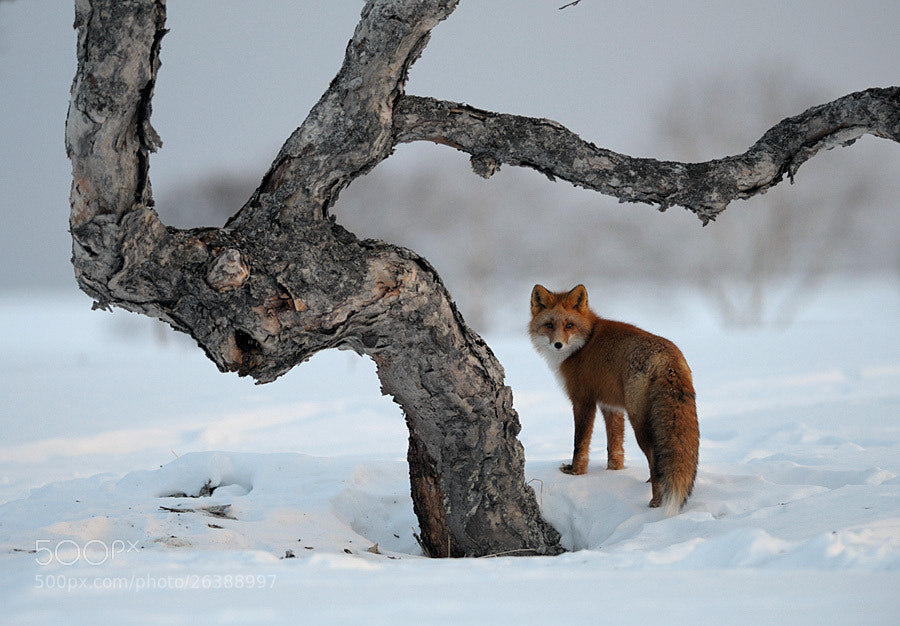 Photograph Erman's birch and a fox in Kronotsky Nature Reserve. by Igor Shpilenok on 500px