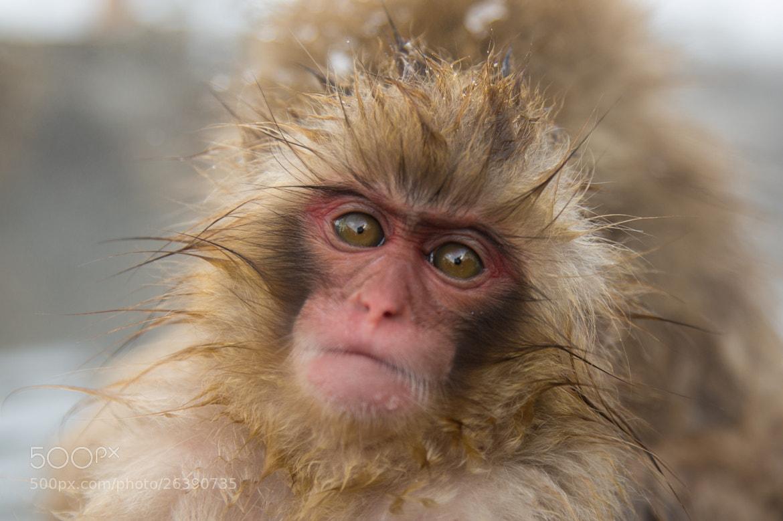 Photograph Snow monkey by Akiko F on 500px