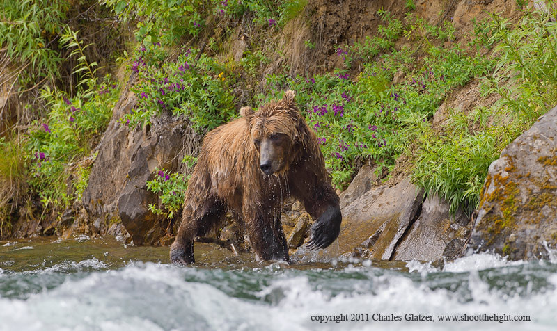 Photograph Brown bear searching for salmon by Charles Glatzer on 500px