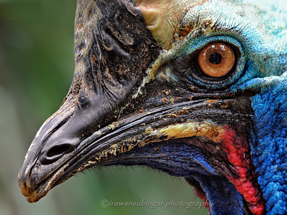 Photograph the face of Cassowary by Irawan Subingar on 500px