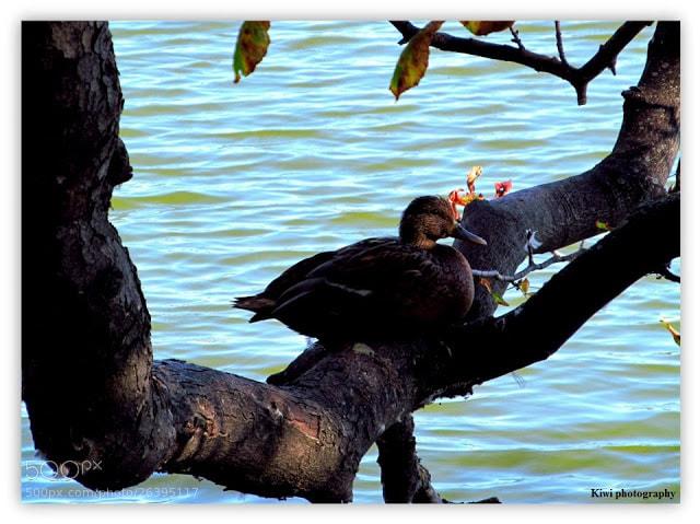 Photograph Duck on a tree by Tóth Viktória on 500px