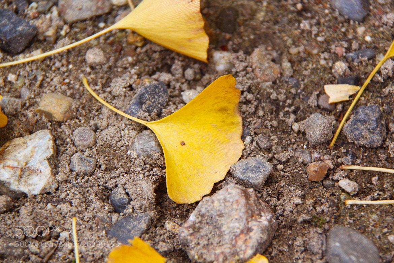 Photograph Yellow Ginkgo Biloba Leaves - Nara, JAPAN by sharon ang on 500px