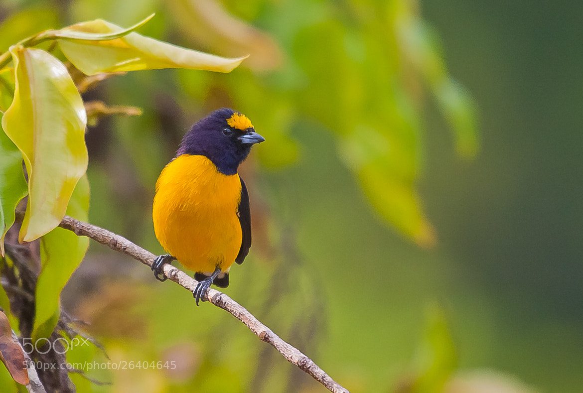 Photograph Purple-throated Euphonia (Euphonia chlorotica) by Bertrando Campos on 500px