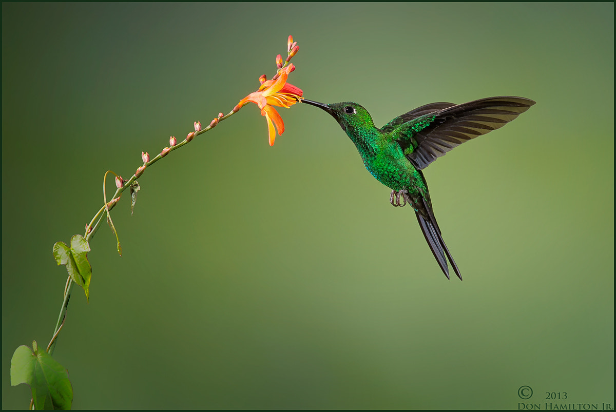 Photograph Green-Crowned Brilliant.  by Don  Hamilton Jr. on 500px