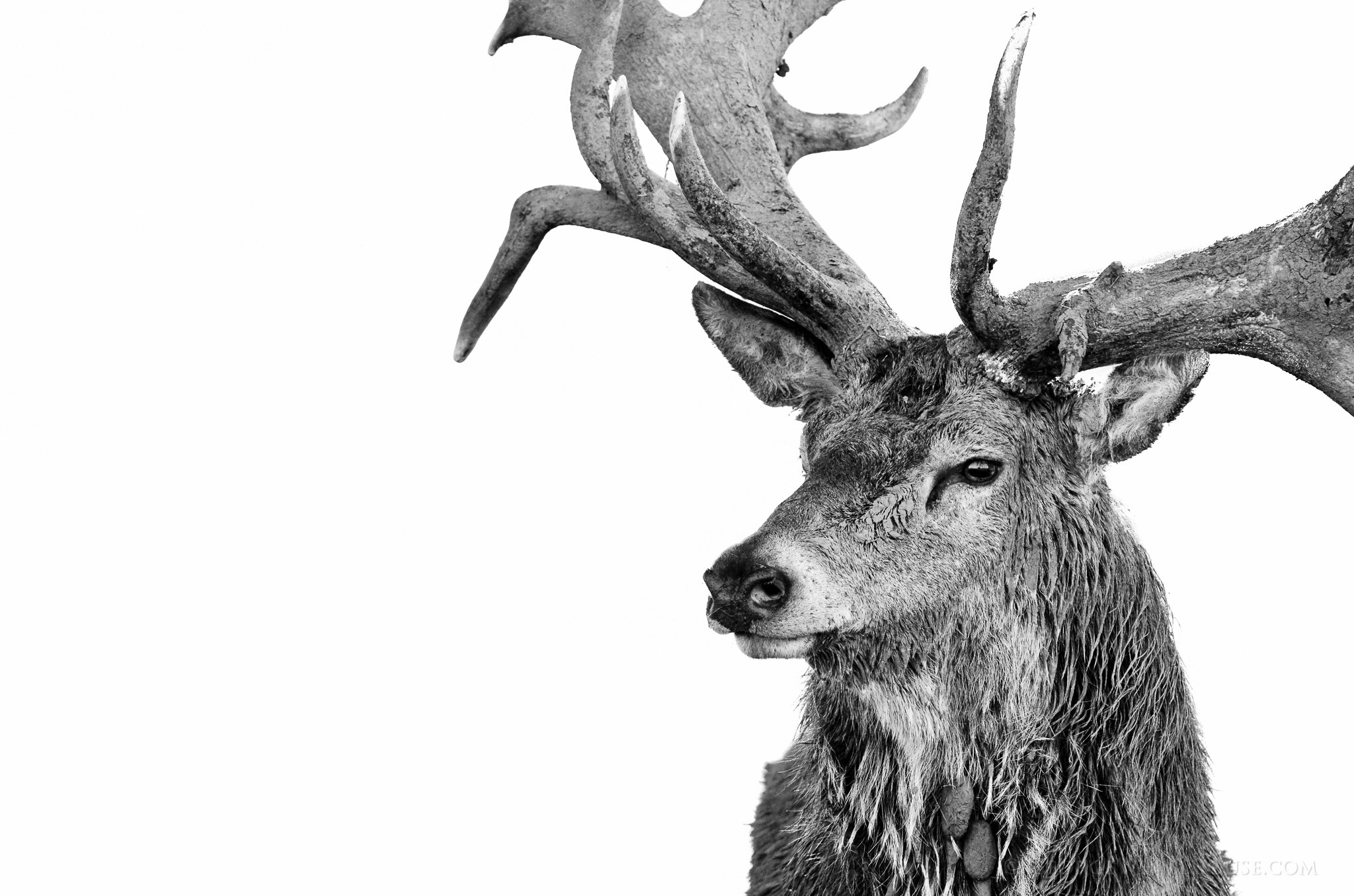 Photograph Posing Red Deer - High Key Portrait by George Wheelhouse on 500px