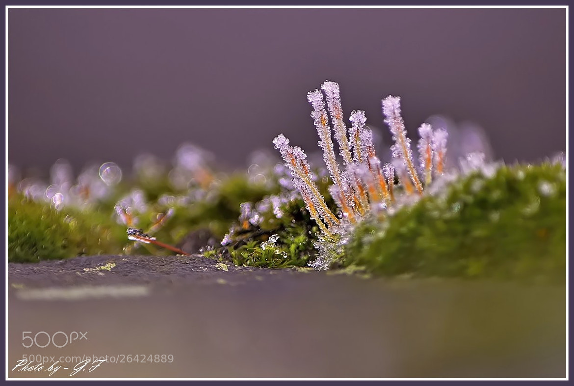 Photograph Frosty moss by Ferenc Gelencsér on 500px