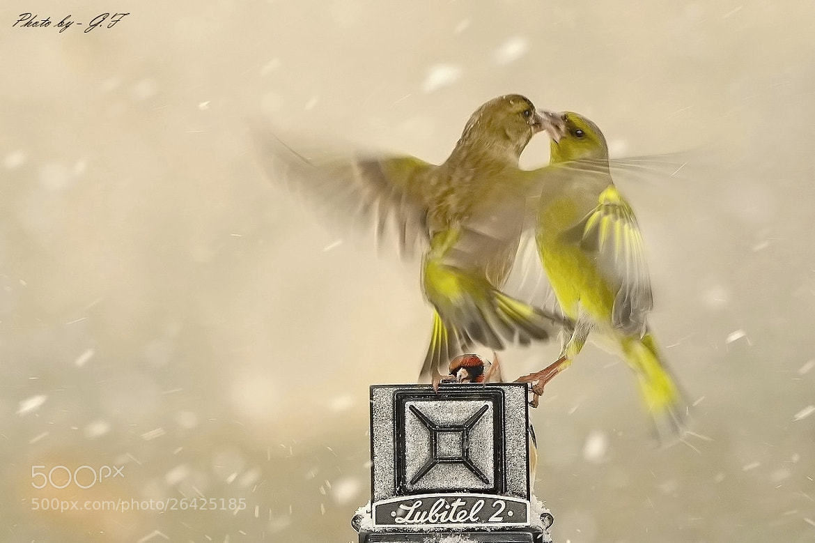 Photograph Greenfinches by Ferenc Gelencsér on 500px
