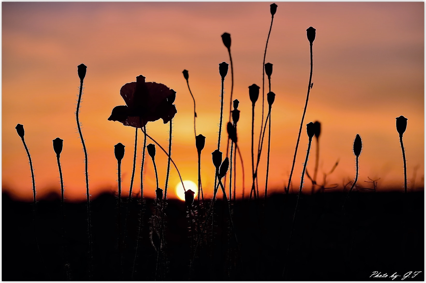 Photograph Poppies at Sunset by Ferenc Gelencsér on 500px