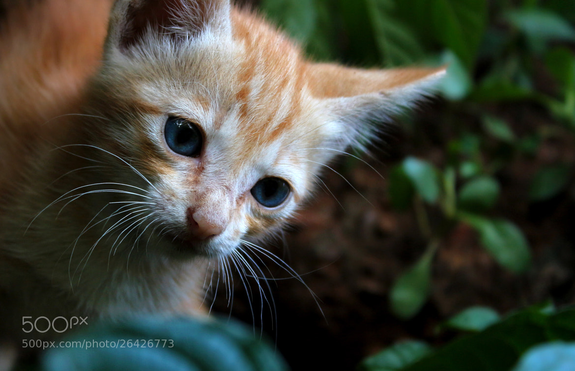 Photograph Kitty 02 by Madushan Abeysinghe on 500px
