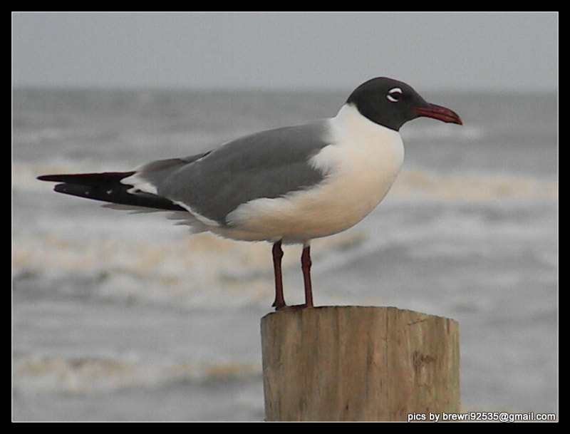 Photograph seagull @ Galveston Tx by Brenda Wright on 500px