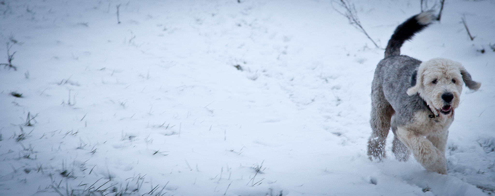 Photograph Old English Sheepdog in the snow by Anna Goodrum on 500px