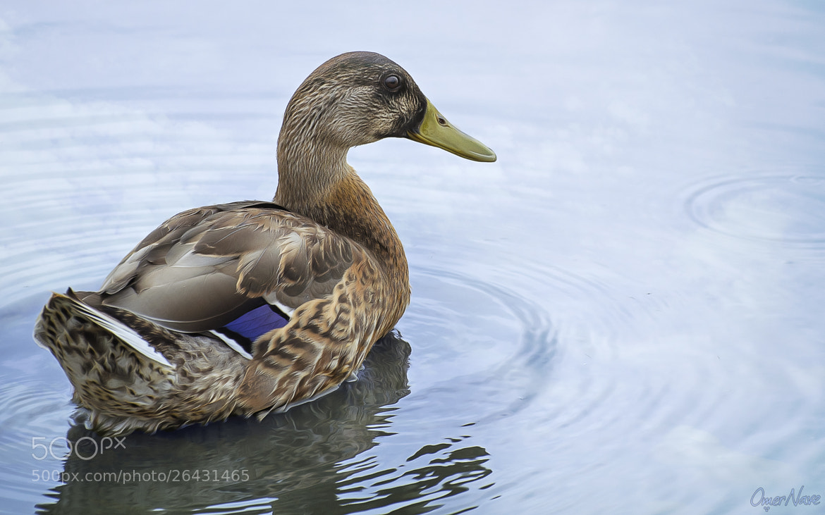 Photograph Duckess by Omer Nave on 500px