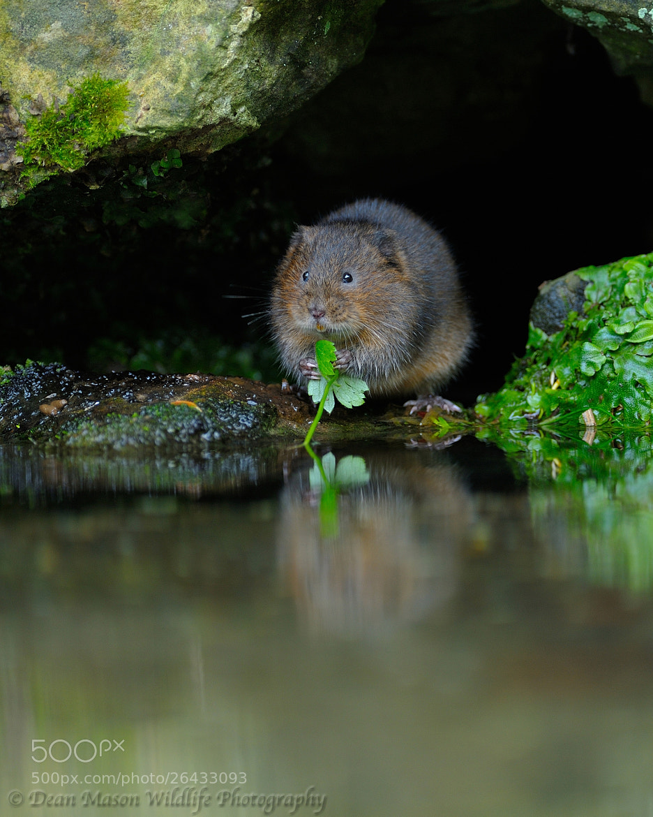 Photograph Water Vole @ Lunch by Dean Mason on 500px