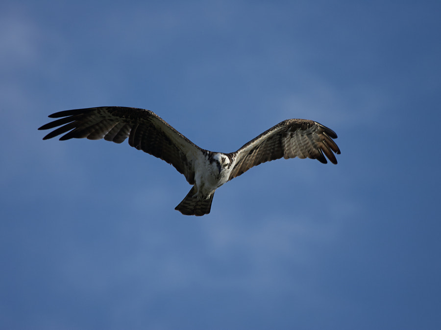 Osprey looking for food