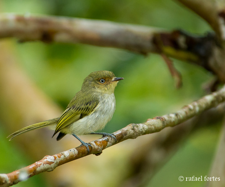 Photograph Maria-pequena (Phylloscartes sylviolus) - Bay-ringed Tyrannulet by Rafael Fortes on 500px