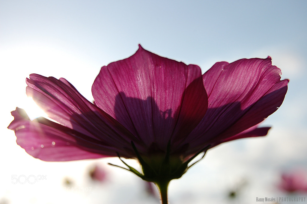 Photograph Cosmos by Hannelore  on 500px