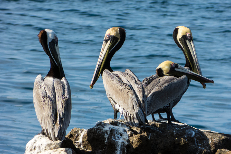 Tranquil Pelicans
