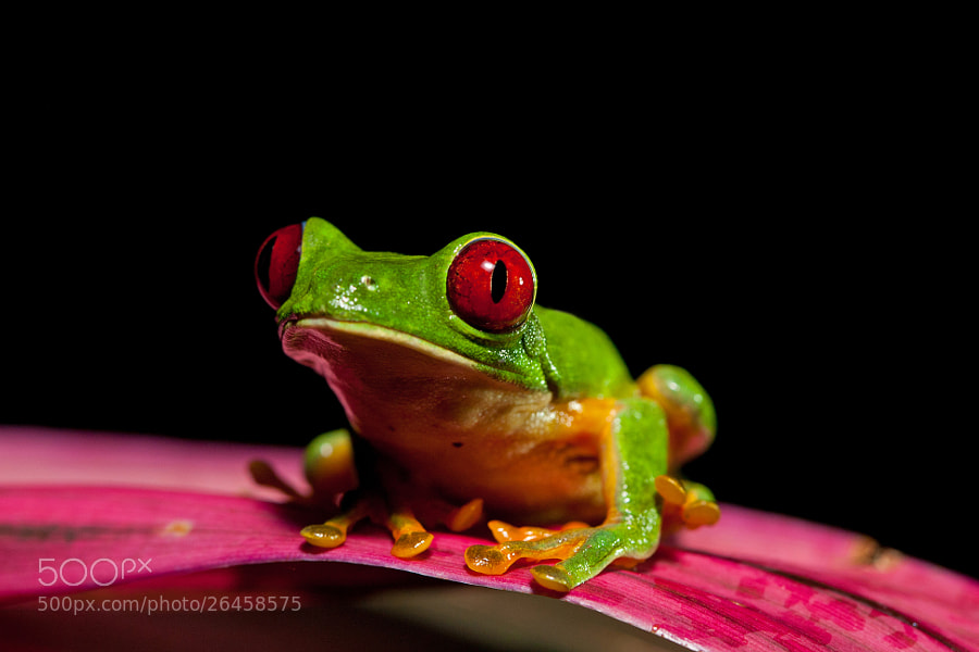 Photograph Small Frog, Big Personality by Alex  Thomson on 500px