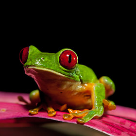 Small Frog, Big Personality by Alex  Thomson (AlexThomson)) on 500px.com
