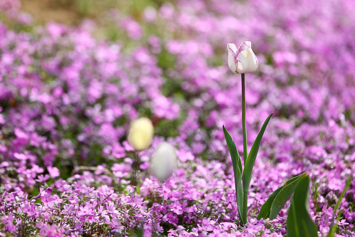 Photograph Tulip & Phlox by LEE INHWAN on 500px