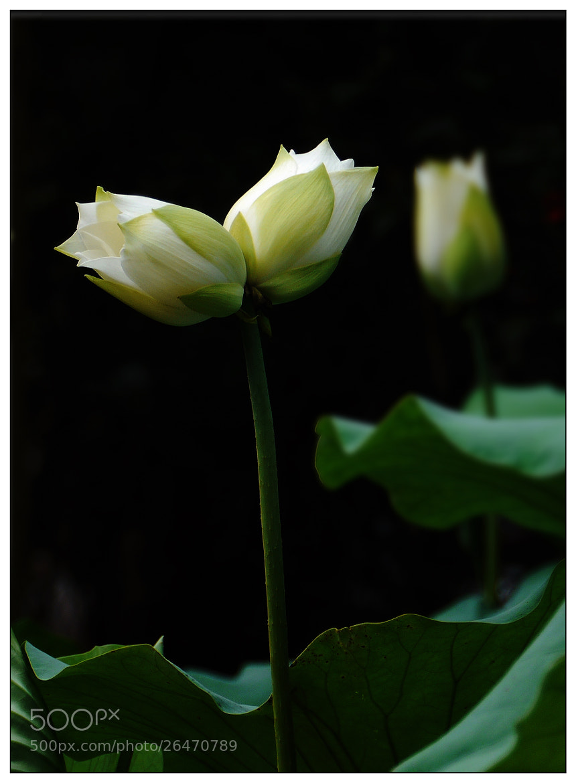 Photograph Twin White Lotus by Sherman C. on 500px