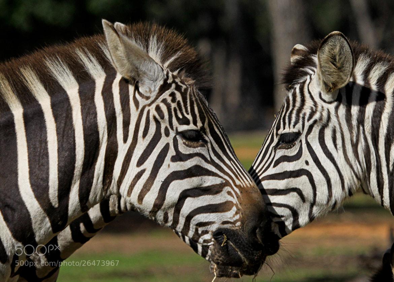 Photograph Zebras by  Michal De-porto on 500px