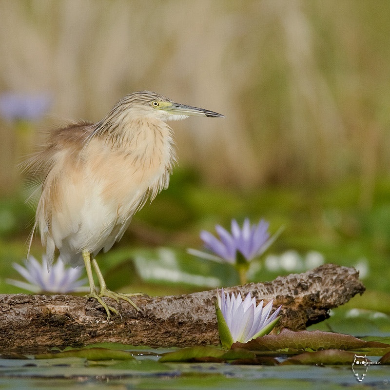 Photograph Squacco heron and water lilly... by Marie Claude Orosquette  on 500px