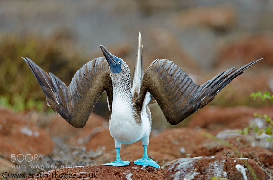 Photograph Blue-footed Booby by Austin Thomas on 500px