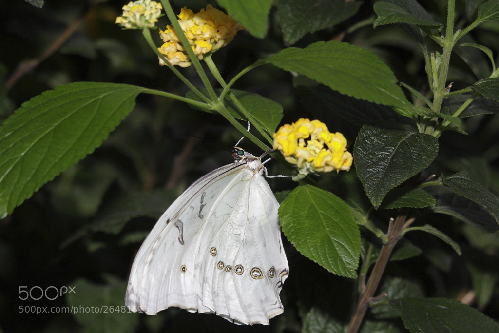 Photograph White Morpho (Morpho Polyphemus) by Jonathan Nicholson on 500px