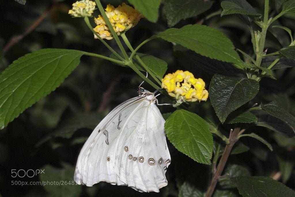 Photograph White Morpho (Morpho Polyphemus) by Jonathan Nicholson on 500px