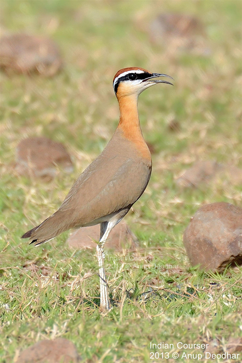 Photograph Indian Courser by Anup Deodhar on 500px