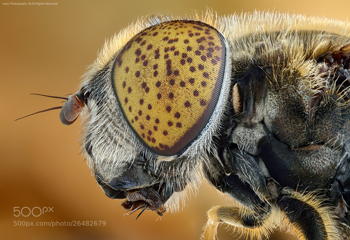 Photograph Eristalinus aeneus. by ireneusz irass walędzik on 500px