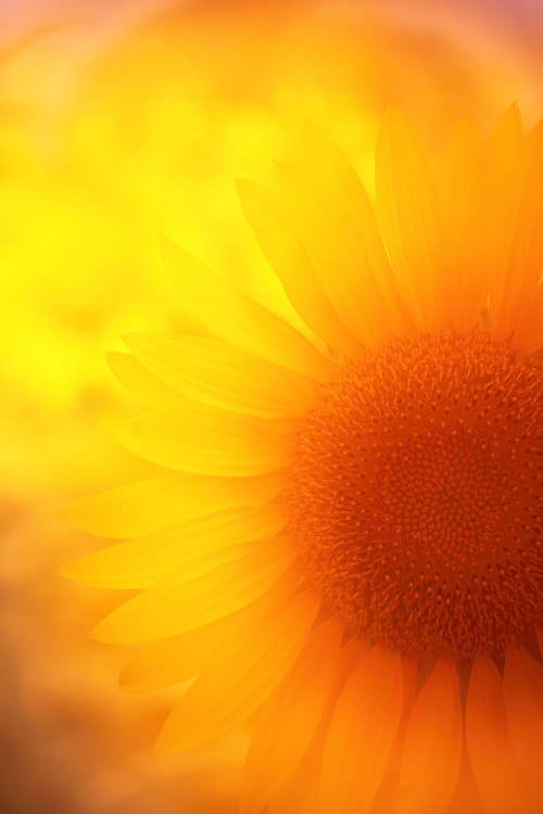 Photograph Sunflower by AI  OGISO on 500px